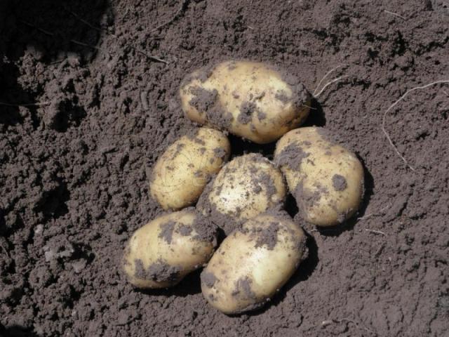 Natural Bioplasm-Potato