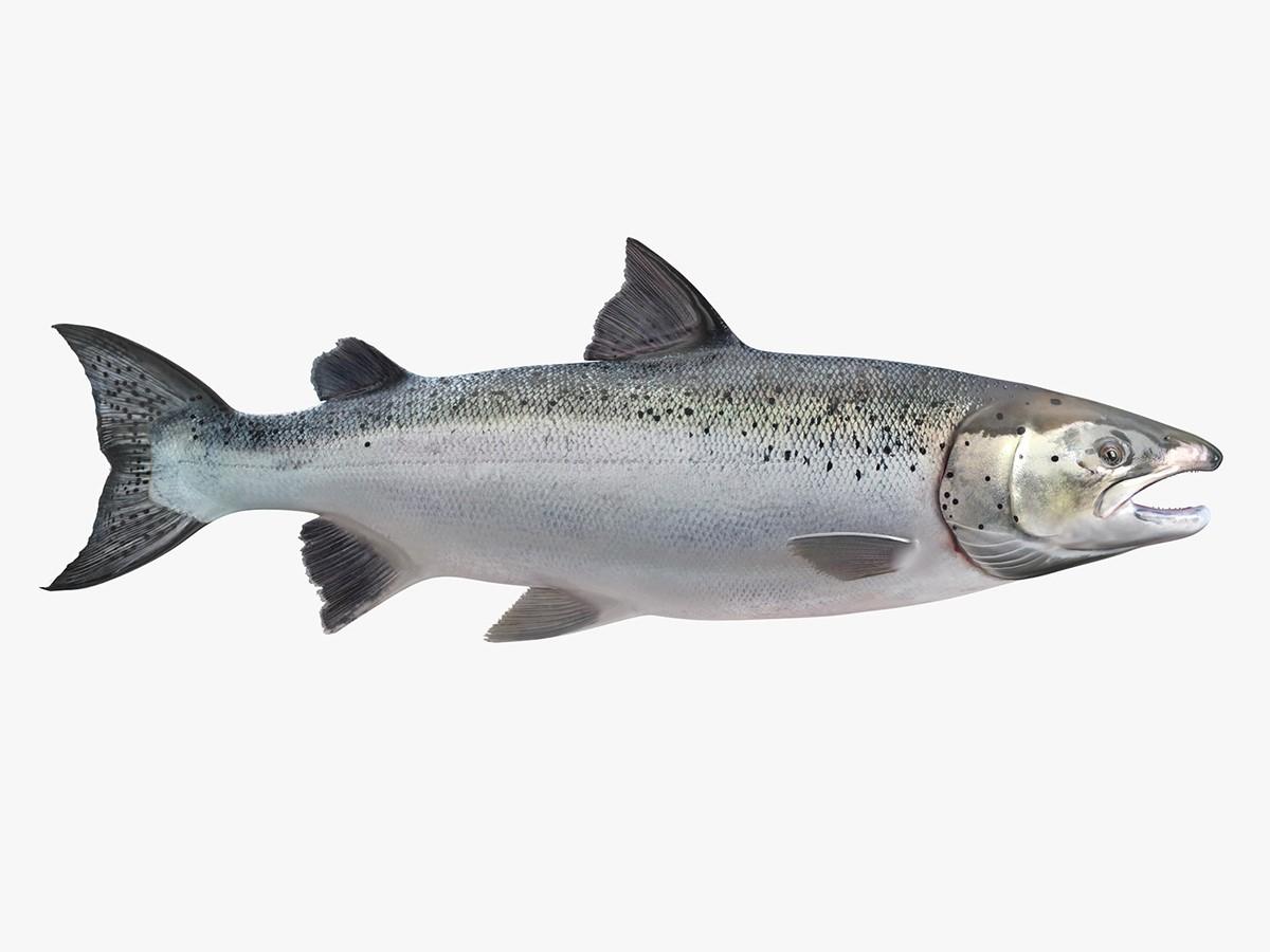 Salmon - 1