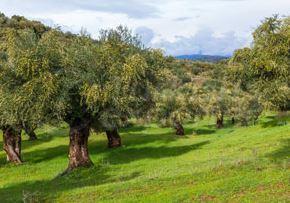 Óleo de oliva virgem extra