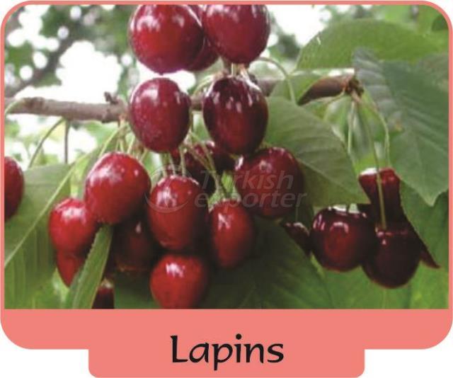 Черешня-вишня Lapins