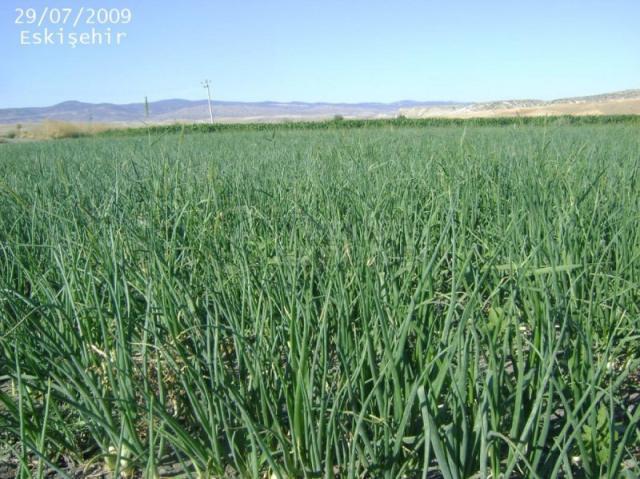Natural Bioplasm-Onion