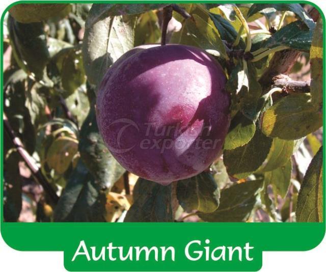 Слива Autumn Giant