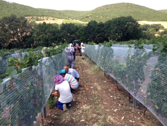 Grape Protection Nets