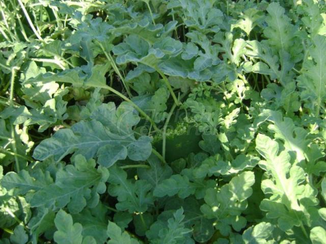 Natural Bioplasm-Melon