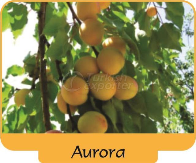 Абрикос Aurora