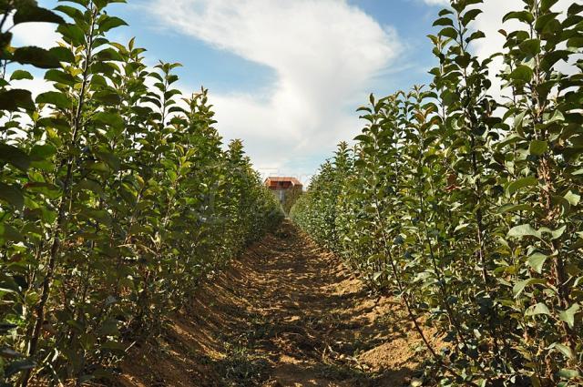 Full-Grown Apple