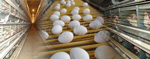 Yumurta Kümesleri