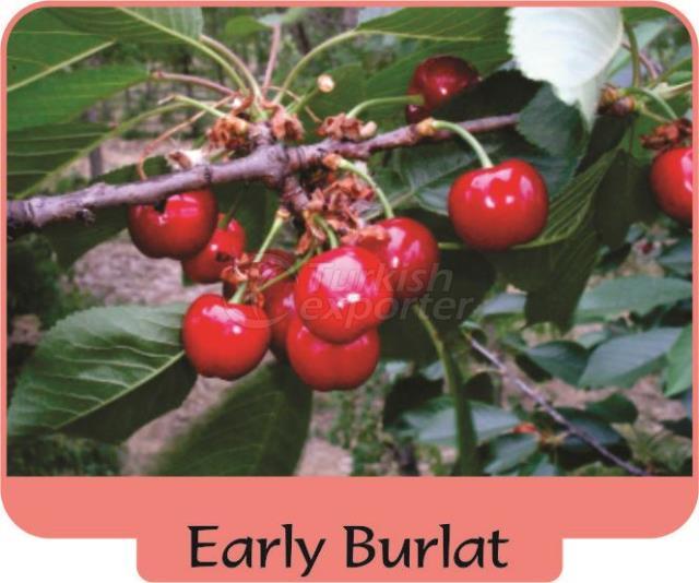 Черешня-вишня Early Burlat