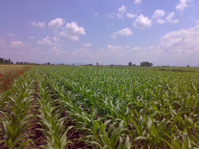 Natural Bioplasm-Corn