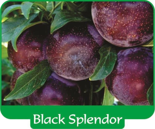 Слива Black Splendor