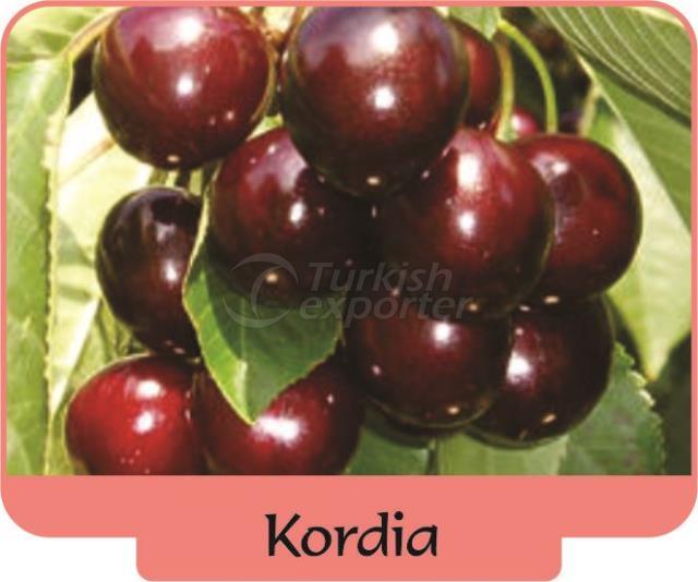 Черешня-вишня Kordia