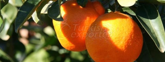 Minneola Mandarin