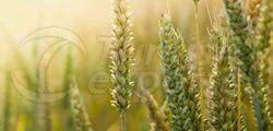 Herbisit