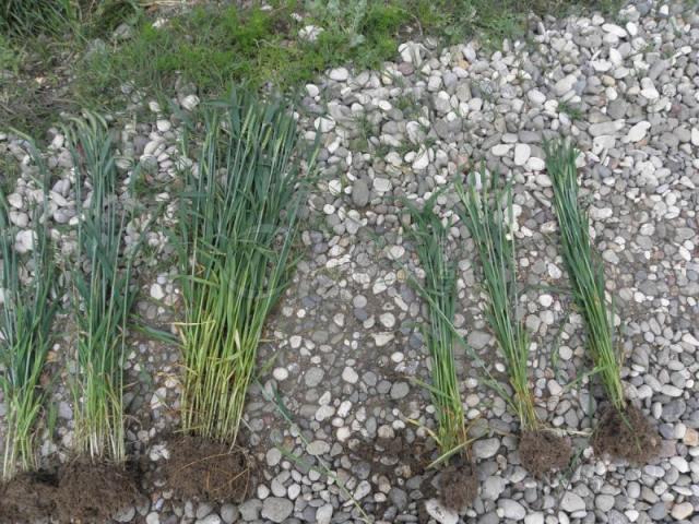 Natural Bioplasm-Wheat