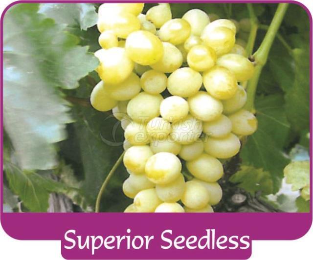 Виноград Superior Seedless