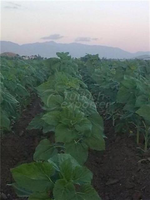Natural Bioplasm-Sunflower Seed