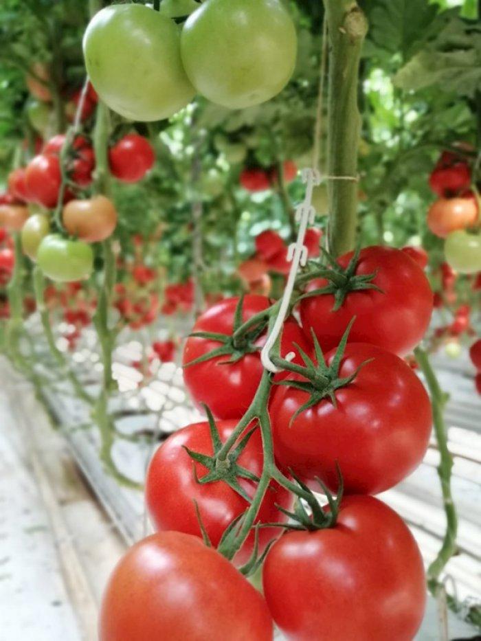 Hormone-Free Tomato 007