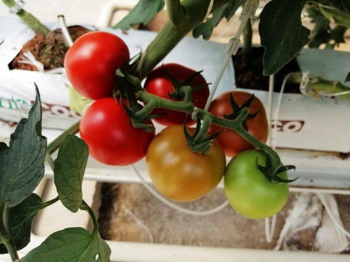 Hormone-Free Tomato 003