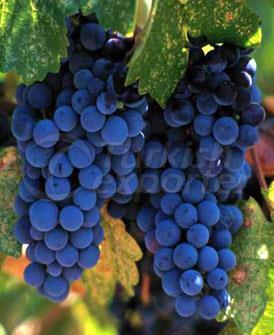 Concentrado de semente de uva