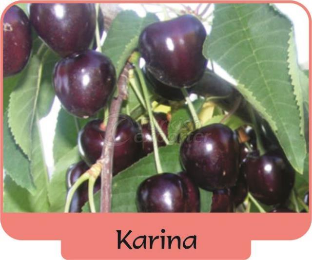 Черешня-вишня Karina