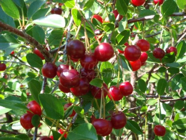 Organic Production-Sour Cherry Juice Concentrate